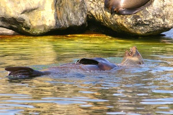 Nachwuchs bei den Seebären im Zoo Leipzig